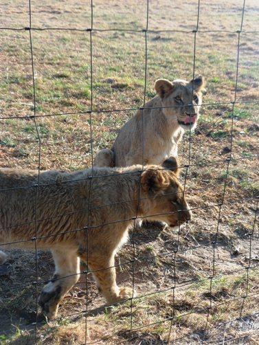 mid lions